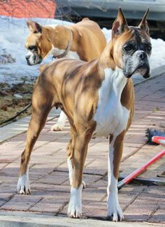 Irrestible Dog Ideas and Training Tips. Mind Blowing Dog Ideas and Training Tips. Boxer Puppies, Cute Puppies, Dogs And Puppies, Beagle Pups, Doggies, Huge Dogs, I Love Dogs, Animals Beautiful, Cute Animals