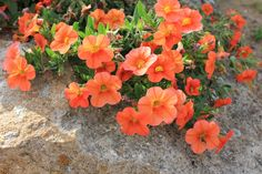 IMG_4738 Flowers Nature, Beautiful Flowers, Angel Trumpet, Orange Flowers, Four Seasons, Still Life, Vines, Cactus, Succulents