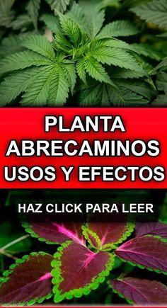 7 hierbas para adelgazar chile relleno