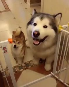 12 Best Malamute Vs Husky Images Cute Dogs Fluffy Animals