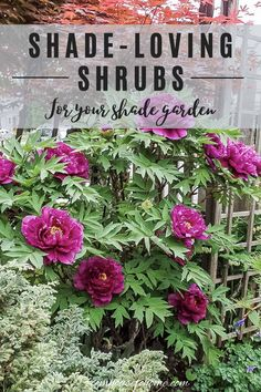 Find out which bushes to plant under trees in the shade garden in your backyard or front yard. These shrubs will help to brighten up your yard. #fromhousetohome #bushes #shade #gardeningtips #gardening #gardenideas Shade Loving Shrubs, Shade Shrubs, Shade Garden Plants, Shade Perennials, House Plants, Shaded Garden, Summer Plants, Garden Shrubs, Evergreens For Shade