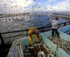 Fish farm feeding (Photo © Robert Yin/SeaPics.com)