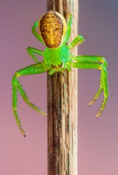 Green Crab Spider II  I love these little guys, they're so cute!!!!