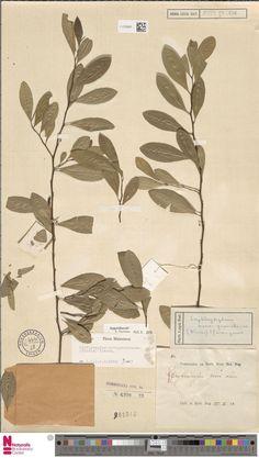L.2120942 | Erythroxylum novogranatense (Morris) Hieron.