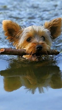 Find out if you're ready to adopt a Yorkshire Terrier puppy! Find out if you're ready to adopt a Yorkshire Terrier puppy! Yorkies, Yorkie Puppy, Yorshire Terrier, Silky Terrier, Yorkshire Terrier Haircut, Yorkshire Terrier Puppies, Rottweiler Puppies, Poodle Puppies, Mundo Animal