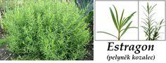 Estragon (pelyněk kozalec) - účinky na zdraví, co léčí, použití, užívání, využití - Bylinky pro všechny