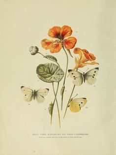 Small White Butterflies, Animal Life and the World of Nature :.1902-1904.