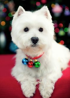 I love these dogs. They make more distinct sounds than any other dog. My westie, bella passed away Christmas Puppy, Christmas Animals, Christmas Bells, Merry Christmas, Dog Christmas Pictures, White Christmas, Christmas Ornament, Xmas, Ornaments