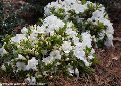 Bloom-A-Thon® White - Reblooming Azalea - Rhododendron