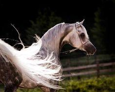 Egyptian Arabian horse stallion