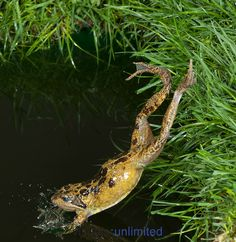 Common Frog (Rana temporaria) leaping into pond, UK