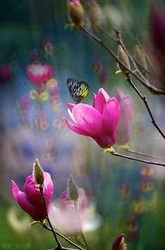 Raindrops and Roses - magnolia + butterfly - Beautiful Butterflies, Amazing Flowers, Pink Flowers, Beautiful Flowers, Butterfly Flowers, Raindrops And Roses, Magnolias, Flowers Nature, Winter Flowers