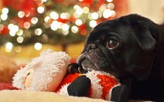 Max in front of the fire with his Santa toy dreaming of Christmas (by Joe Goble)