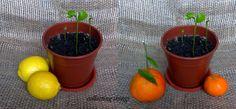 lamai mandarin