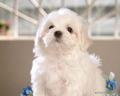 A cute little Maltese puppy! Baby Puppies, Baby Dogs, Cute Puppies, Pet Dogs, Doggies, Baby Maltese, Maltese Dogs, Shih Tzu, Baby Animals