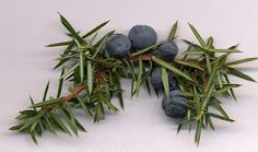 Wild juniper berries and how to use them