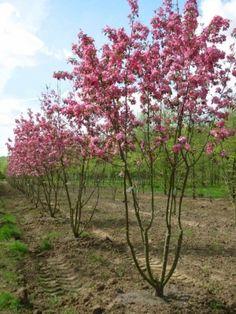 meerstammige-bomen-malus-x-robusta-rudolph