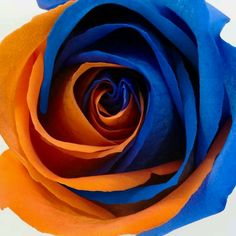 Here is a Rose for all the Women of Gator Nation !!!