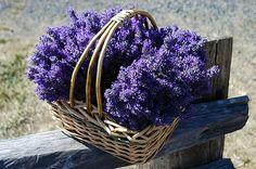 Wanneer mag je lavendel snoeien?