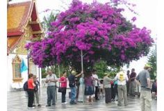 big begonvil trees - Google'da Ara