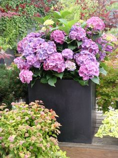Hydrangea. My most favorite plant/flower. My Mom's were always fat and healthy in pink, blue, and white.