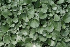 Silver Falls™ - Dichondra hybrid - bought at #KoopmanLumber for Judy's blue pots