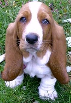 Basset Hound~ look at those sweet eyes. So darn cute..... Brought to you in part by StoneArtUSA.com ~ affordable custom pet memorials since 2001
