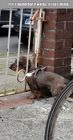 Here is a clever idea to prevent your dachshund from escaping from the fences.Let your dog wearing a wooden spoon!