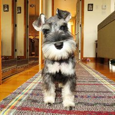 See this Instagram photo by @schnauzerworld • 6,745 likes