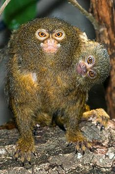 Get the best vacation ideas, travel deals, and budget tips! From road trips to girl getaways, family vacations to solo travel, we make travel accessible to all. Unusual Animals, Rare Animals, Animals Beautiful, Funny Animals, Strange Animals, Wild Animals, Primates, Mammals, Pygmy Marmoset