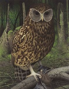 Laughing Owl - Extinct