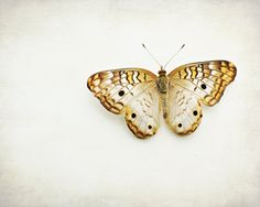"Butterfly photography - gold yellow  white brown butterfly nursery wall art nature white spring insect 8x10 11x14 16x20 ""Gold Butterfly"" on Etsy, $32.86 AUD"