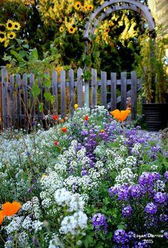 September flowers:  alyssum, poppies, sunflowers