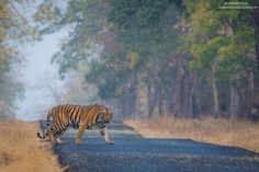 An Introduction Guide For Tadoba Andheri Tiger Reserve >>>> The sprawling TadobaAndhari Tiger Reserve (TATR) is located in Chandrapur district in the north eastern side of Maharashtra. Wildlife Safari, National Parks, Hiking, India, Adventure, Calendar, Animals, Walks, Animales
