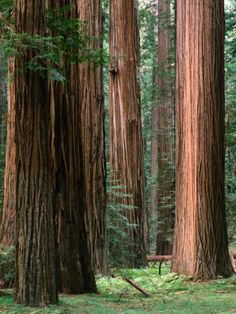 Redwoods near San Franciso.  May go there next month!