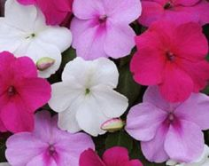 50 Seeds Impatiens Seeds Impreza Wedgewood Mix Flower Seeds