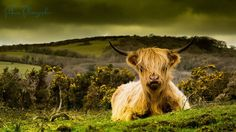 Picture of the Day: This Cow is so Emo (the remainder of the herd must be over the hill!??!?!)