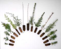 [][][] TREE SEEDLINGS. L-->R : Subalpine Fir, Pacific Silver Fir, Grand Fir, Western Red Cedar, Alaska Yellow Cypress, Western Hemlock, Quaking Aspen (aka Trembling Aspen), Paper Birch, Sitka Spruce, White/Engelmann Spruce, Western Larch, Douglas-Fir, Lodgepole Pine, Western White Pine, Ponderosa Pine. Click link for larger photo.