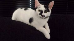 A calico cat that has Tabby markings is called a 'Caliby