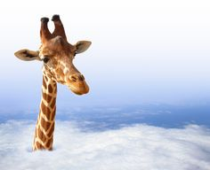 My head is in the clouds but my feet are firmly planted on the ground! When I have pain I see Dr. Martin Blankenship @ Family Chiropractic Plus, St Petersburg Fl. Give them a call on and make an appt. Family Chiropractic, Chiropractic Care, St Petersburg Fl, Funny Giraffe, Health And Fitness Tips, Happy Life, Funny Animals, Clouds, Poster