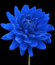 Blue Dahlia Flower Black Background by Natalie Kinnear, West Sussex