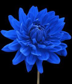 ~~Blue Dahlia Flower Black Background by Natalie Kinnear, West Sussex~~