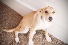 Shepherd Mix (Size: Large) Girl (Spayed) – 18 weeks Adoption Fee: $100