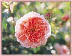 Rosa Climber (Colette o.r.)