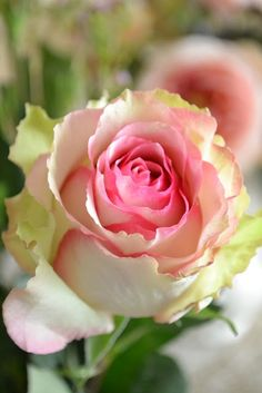 Fresh Rose fresh rose, pink roses, colors, green, pale pink, white, gardens, yellow roses, flowers garden