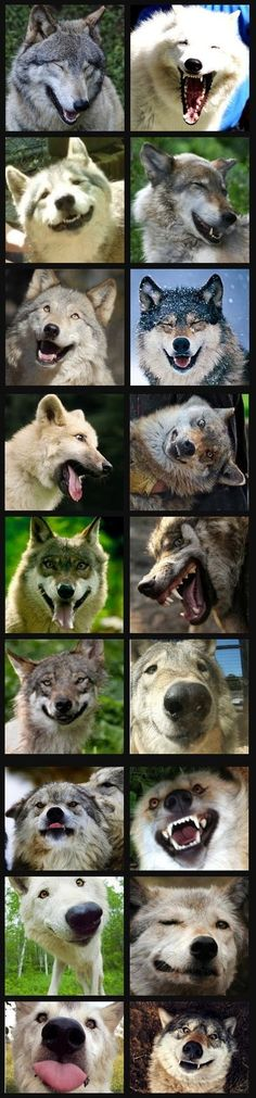 Happy wolves!