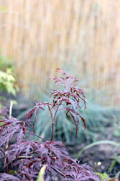 Oravankesäpesä | Japaninverivaahtera Acer Palmatum 'Garnet'