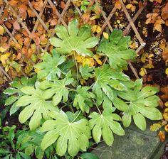 Fatsia japonica variegata, Nov 16.