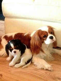 Cavaliers They are the sweetest moms always looking after their pups.