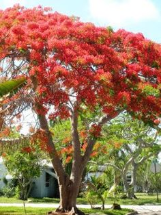 Robert's Tropical Paradise Garden: Royal Poinciana Blooms Amazing This Year